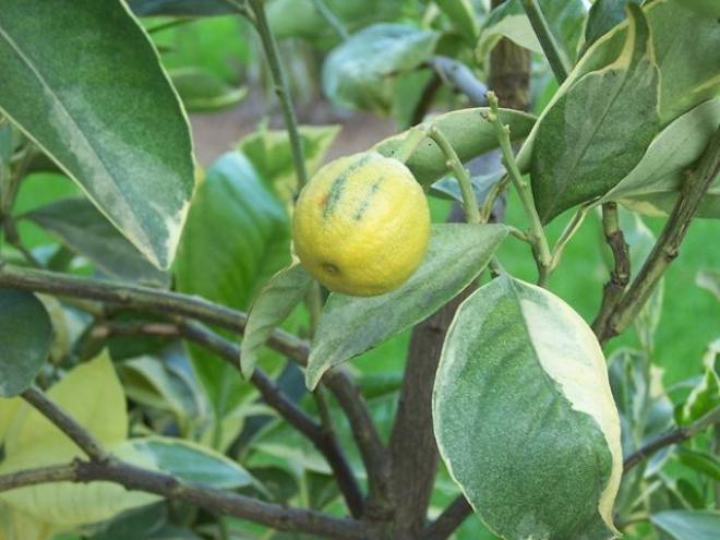 Arancio variegata
