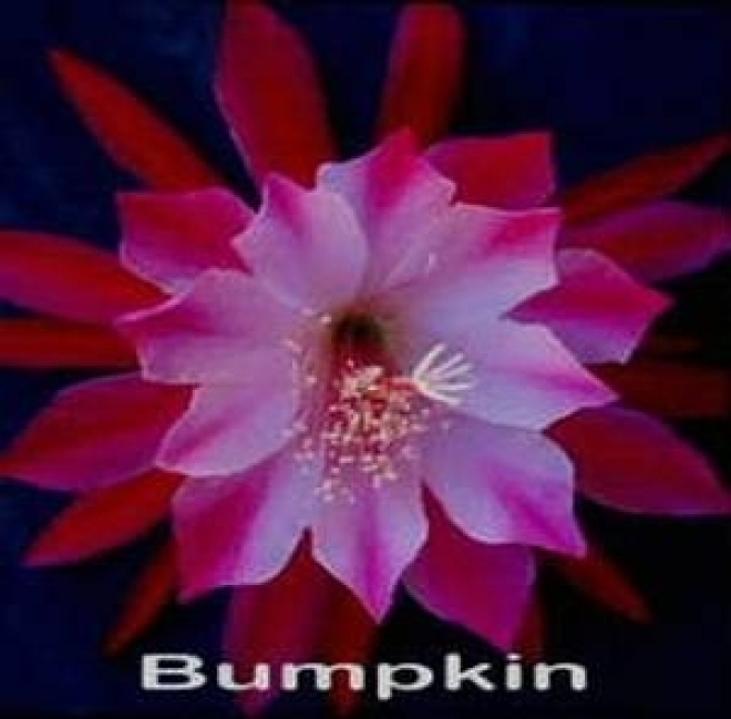 Эпифилиум Bumpkin