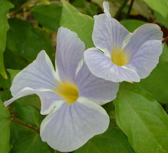 Thunbergia Erecta Bicolor