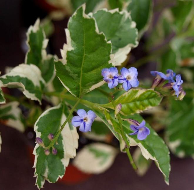 Дуранта пестролистная, Duranta variegata
