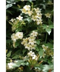 Мансоа или чесночная лиана (фото продаваемого растения)