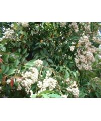 Syzygium gratum