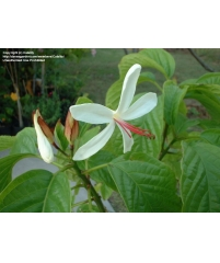 Клеродендрум  minahassae  (цветы душистые)