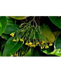 Jasminum subhumile-Новинка-Италия-редкий