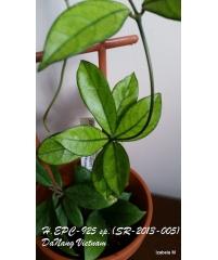 Hoya hainanensis (Hoya sp. DA Nang SR-2013-005)
