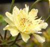 Myrcianthes pungens (редкий сорт)