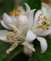 Citrus Myrtifolia Chinotto померанец