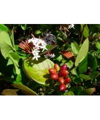 Фабиана (взрослое растение)