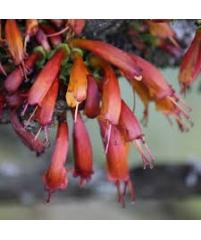 .Halleria lucida.Фуксиевое дерево