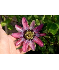 Passiflora Kursk Star