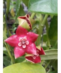 Hoya coronaria red