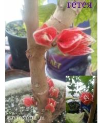 Couroupita guianensis-Курупита гвианская