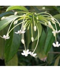 Posoqueria latifolia (Посокуэрия широколистная)
