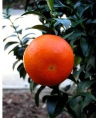 Citrus myrtifolia x Citrus limon (чинолимон)