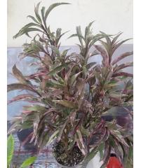 Pseuderantemum Tricolor