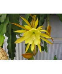 Эпифиллум sunshine (фото инет)