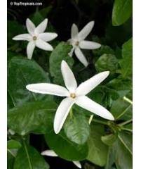 Gardenia Nitida