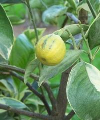 Arancio variegata, апельсин пестролистный