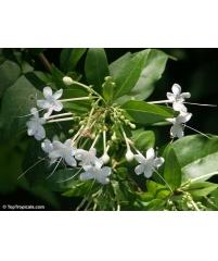 Клеродендрум heterophyllum