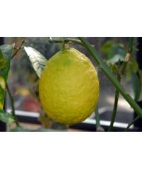 Citrus medica VARIEGATA HACH, Цитрон пестролистный