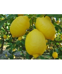 """C. limon """"Interdonato"""""""
