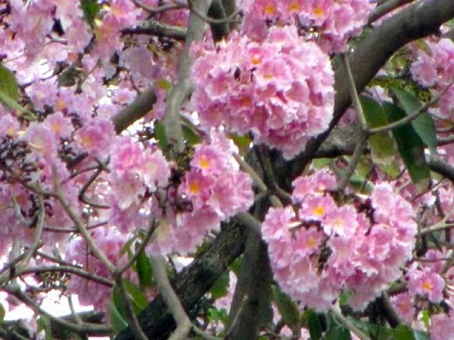Табебуйя розовая
