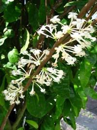 Lophomyrtus Black Stallion (растение с фото) Lophomyrtus Черный жеребец