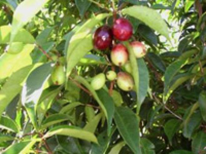Евгения флорибунда (Ромовая ягода)