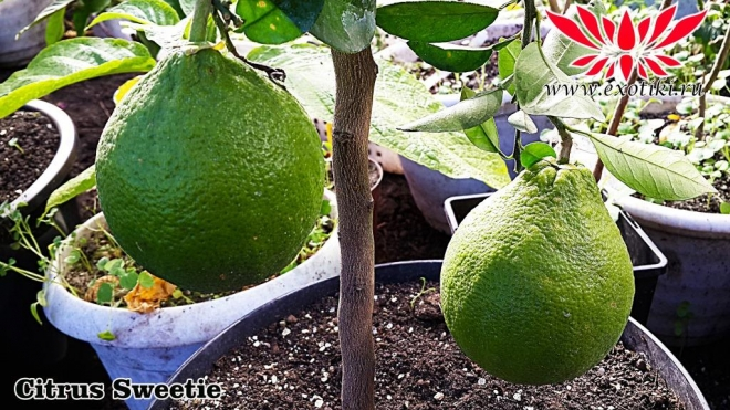 Citrus Sweetie, Свити гибрид помело и белого грейпфрута