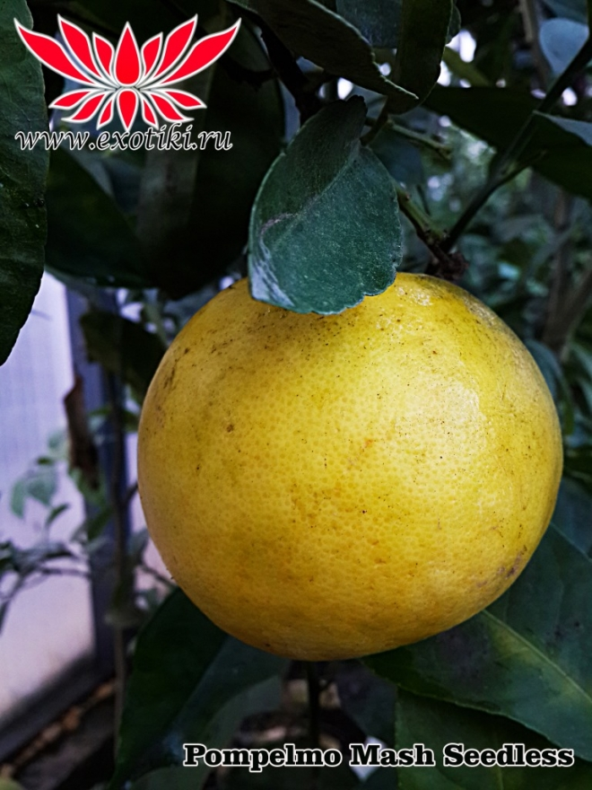 Marsh seedless citrus paradisi