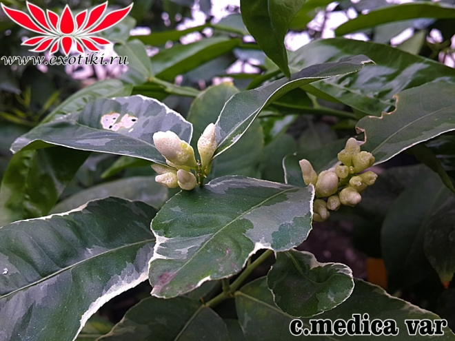 Citrus Medico variegata