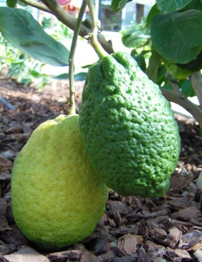 C. limon