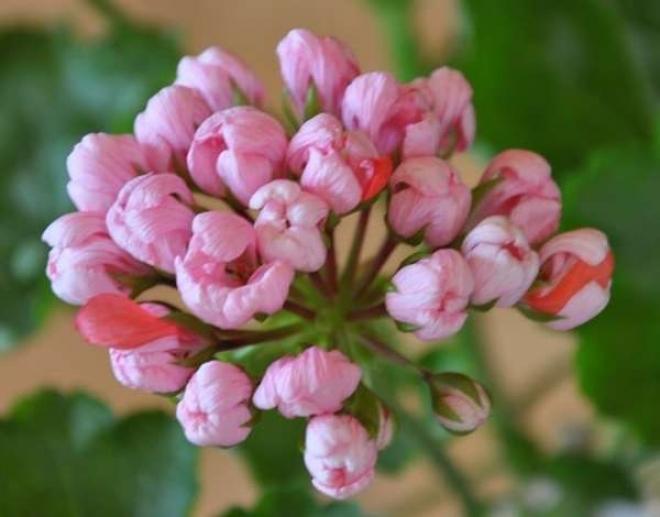 Пеларгония Pink Pandora