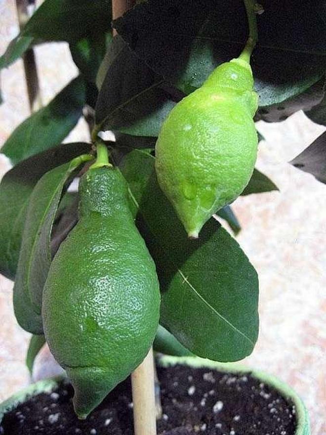 Лимон Кипр (Chypre)