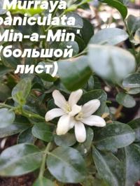 Murraya paniculata 'Min-a-Min' (big leaf)-крупные листики
