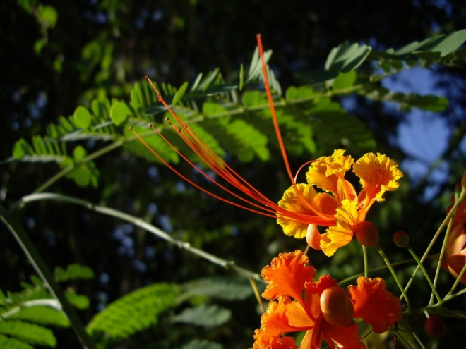 Цезальпиния (Caesalpinia)