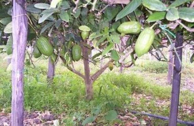 citrus medica Diamante