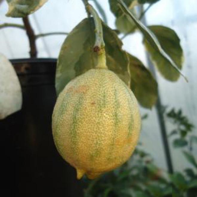 C.limon