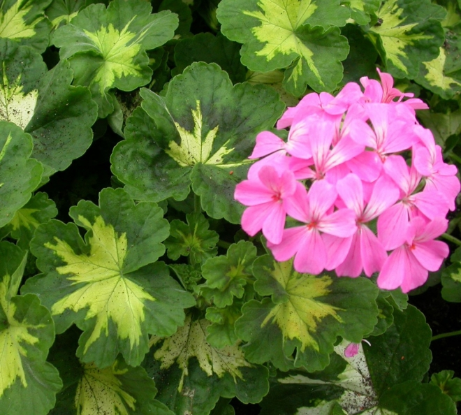 Пеларгония pink happy thought
