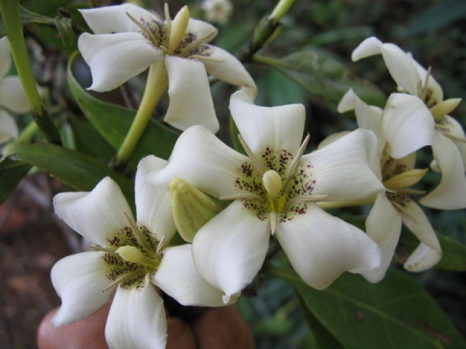 Pотмания -Rothmannia Sootepensis