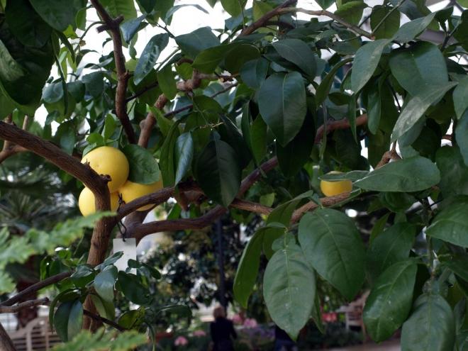 Грейпфрут Gulripshskiy, Citrus paradisi 'Gulripshskiy' ,  Грейпфрут Гульрипшский