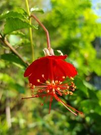 Гибискус grandidieri - Hibiscus grandidieri