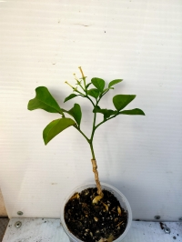 Murraya paniculata 'White Lily' (большой и толстый лист)..