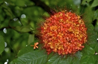 Сарака индийская-Saraca indica