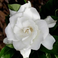 Gardenia sp. Indonesia