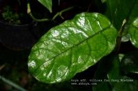 Hoya aff villosa cao dang vietnam