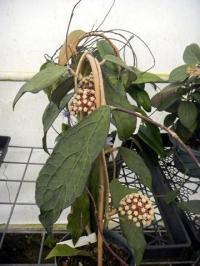 Hoya clemensiorum