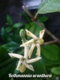 Rothmania uranthera