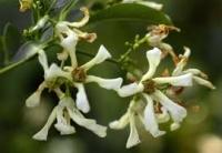 Acmena hemilampra - blush satinash (Новинка) получила с Австралии