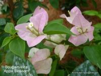 Бугенвиллия apple blossom